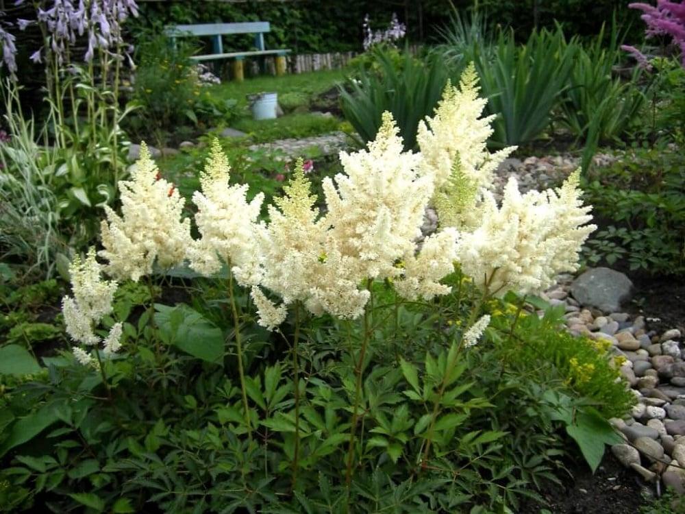 цветок астильба посадка и уход