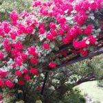 Вьющиеся садовые растения (лианы) – виды и уход