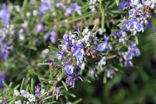 Розмарин – неприхотливое комнатное растение