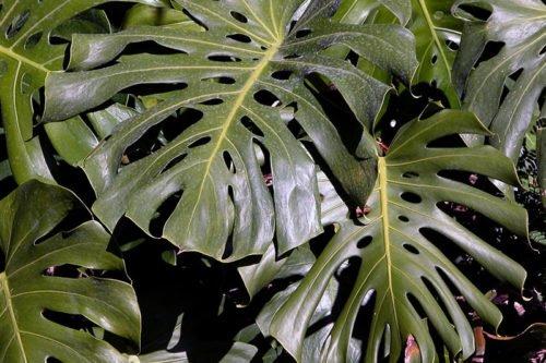 Монстера – неприхотливое комнатное растение