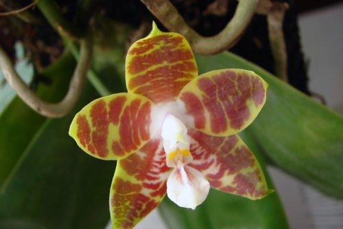 Орхиея фаленопсис – неприхотливое комнатное растение