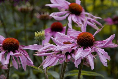 Эхинацея – неприхотливое садовое растение