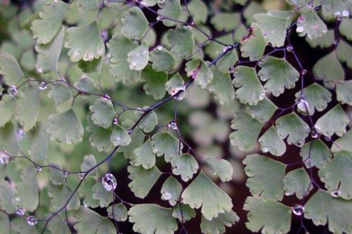 Адиантум очень прихотливое растение