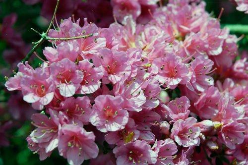Очень прихотливое растение азалия