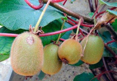 Выращивание актинидии коломикта – посадка и уход
