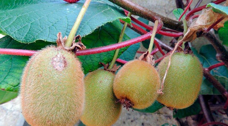 Выращивание актинидии коломикта