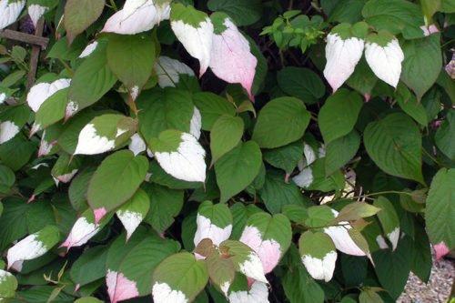 Выращивание актинидии в саду