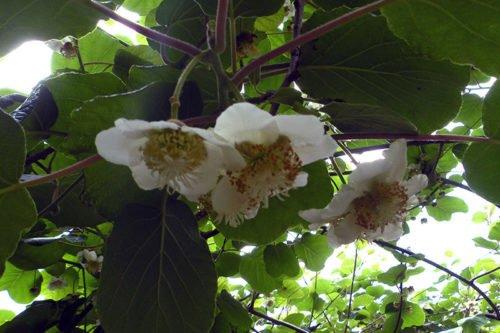 Посадка актинидии и уход за ней в саду