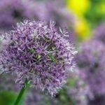 Декоративный лук – посадка и уход в саду