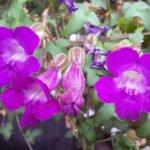 Выращивание азарины лазящей в саду и дома