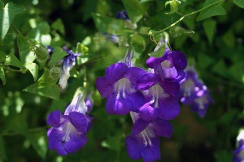 Выращивание лазящей азарины в саду