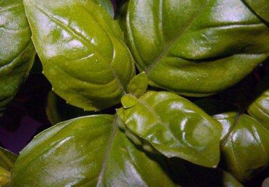 Базилик – выращивание из семян в открытом грунте
