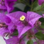 Выращивание бугенвиллеи в домашних условиях