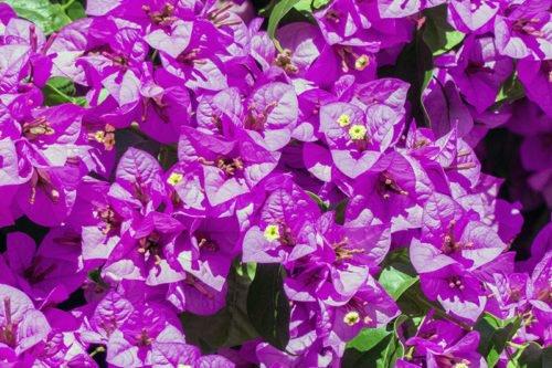 Выращивание бугенвиллеи в саду
