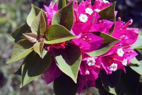 Как посадить и ухаживать за бугенвиллеи