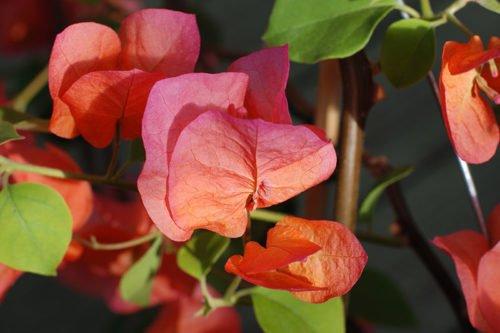 Как правильно выращивать бугенвиллею в домашних условиях