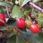 Выращивание кизила – посадка и уход в саду