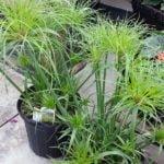 Выращивание циперуса в домашних условиях