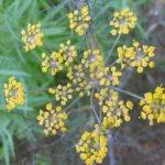 Выращивание фенхеля из семян, посадка и уход