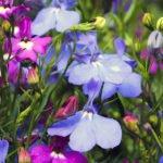 Посев семян лобелии на рассаду – три способа