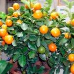 Домашний мандарин – выращивание из косточки в домашних условиях