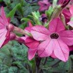 Выращивание душистого табака – посадка и уход