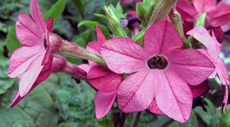 Выращивание душистого табака в саду