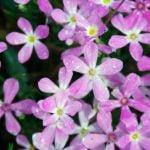 Выращивание флоксов из семян – посадка и уход в саду