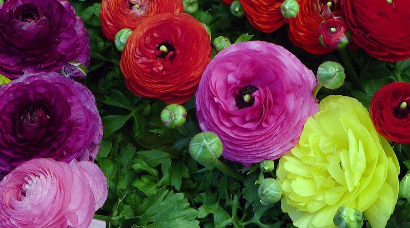 Как выращивать лютики в саду