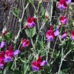 Душистый горошек – выращивание из семян и уход