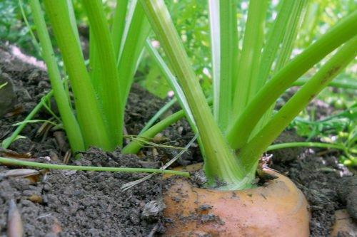 Выращивание моркови из семян в открытом грунте