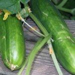 Выращивание огурцов – посадка и уход