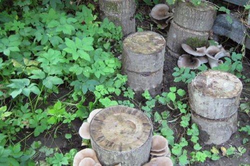 Как правильно вырастить грибы вешенки на пне