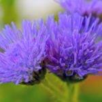 Условия выращивания агератума в саду