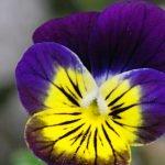 Выращивание анютиных глазок и размножение семенами