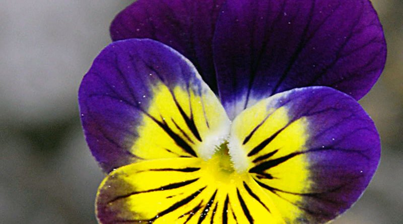 Выращивание анютиных глазок в саду