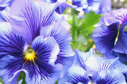 Выращивание виолы в саду и размножение