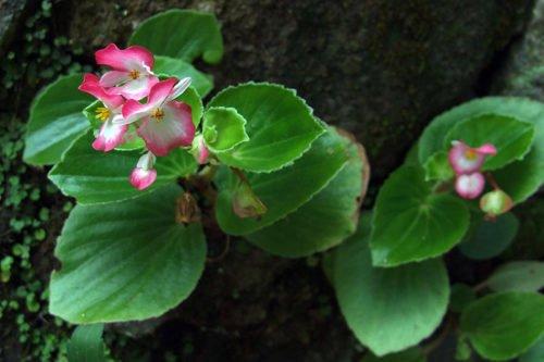 Как посадить и ухаживать за бегонией в открытом грунте