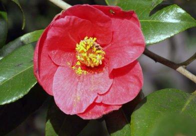 Камелия: полезные свойства растения, применение и история