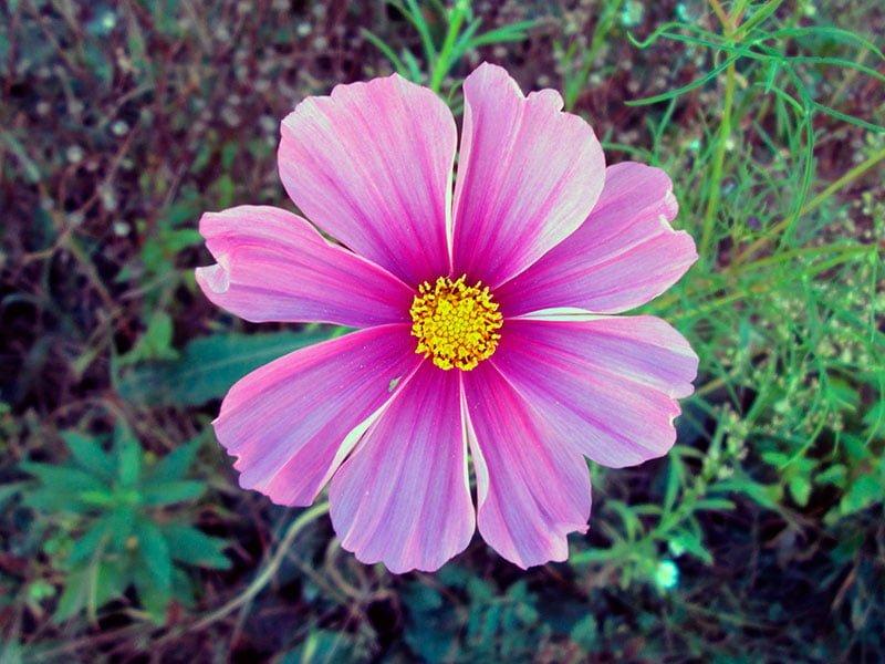 Космея цветы описание и 51