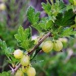 Выращивание крыжовника – посадка и уход в саду