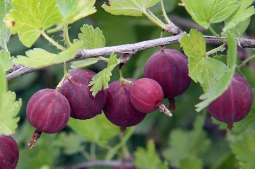 Условия выращивания крыжовника в саду