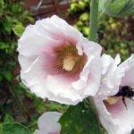 Выращивание лаватеры в саду – посадка и уход