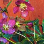 Размножение морозника и лечебные свойства цветка