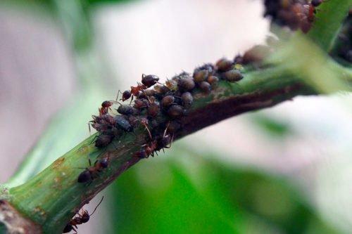 Как бороться с муравьями народными методами