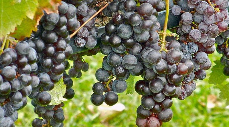 Посадка и уход за виноградом в открытом грунте