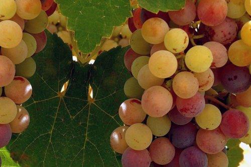 Как выращивать виноград в саду