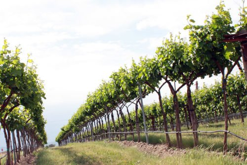 Посадка и уход за виноградом в саду