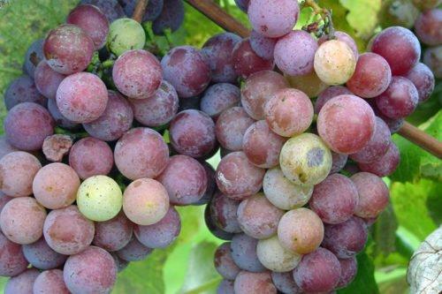 Условия выращивания винограда в грунте