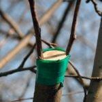 Как прививать яблоню: сроки и способы